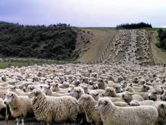 Count The Sheep